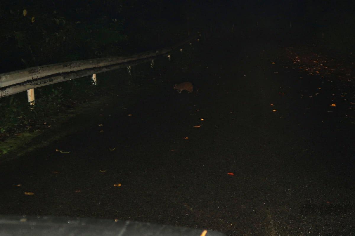 クルマで流しながらの出会い頭で野生のウサギを瞬撮!「三好秀昌のニッポン探訪・取材ウラ話 第15回~アマミノクロウサギ」