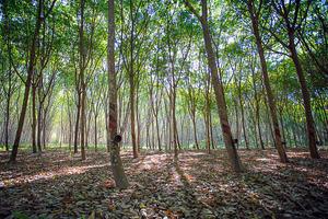 ブリヂストン 高収穫量を実現する「パラゴムノキ」の植林計画を開発