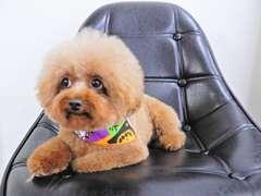 看板犬 トイプードル♀ 現在も修行中… 見かけられた際にはぜひ、遊んであげて下さい。喜びます。宜しくお願いします。