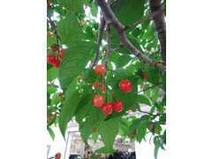 当店にはサクランボと柿の木があり、毎年楽しみです