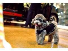 ワークスのマスコット犬、トイプードルのラニです!