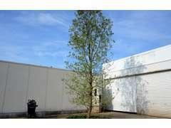駐車場にはシンボルツリーのオリーブの木!
