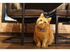 当店の猫ちゃん『千代丸』です。茶トラの男の子です。お客様の足元でよく寝ています。優しくなでてくださいニャ。
