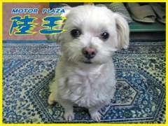 看板犬の【ごん太】君です。ご来店の際は是非遊んで下さい。お店の最新情報はこちらから http://www.rikuoh.net/