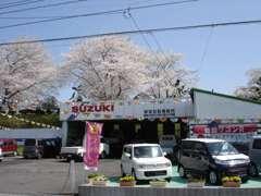 桜の季節には大変キレイな展示場になります。スズキ車のみならず何でも販売可能です。お気軽にご相談きださい。