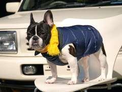 看板犬のフレンチブルドッグのチャイです。遊びに来てください!